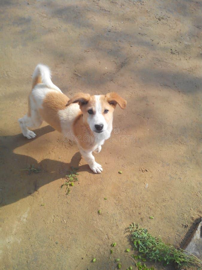 印度拉贾斯坦逗人喜爱的小狗,狗,婴孩,孩子,街道狗沙漠拉贾斯坦 免版税图库摄影