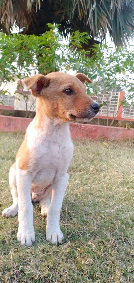印度拉金德拉公园丹巴德区一只饥饿的狗寻找食物 免版税库存图片