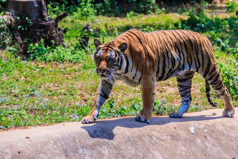 印度支那的老虎或者Corbett的老虎或者豹属底格里斯河corbet 免版税库存照片