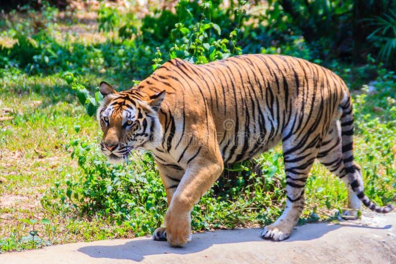 印度支那的老虎或者Corbett的老虎或者豹属底格里斯河corbet 库存图片