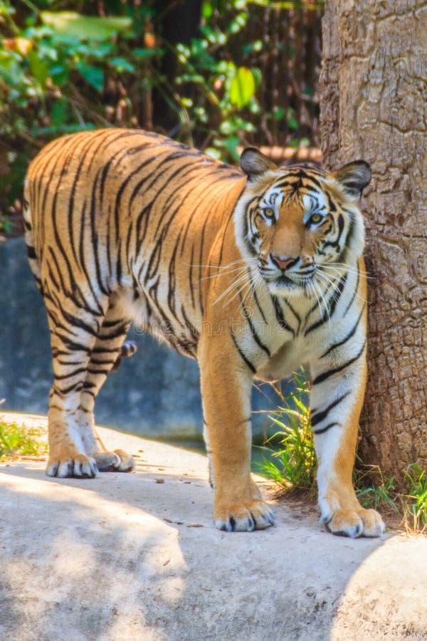 印度支那的老虎或者Corbett的老虎或者豹属底格里斯河corbet 免版税库存图片
