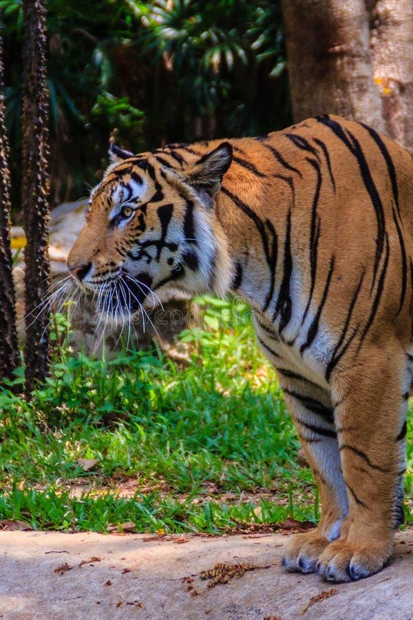 印度支那的老虎或者Corbett的老虎或者豹属底格里斯河corbet 图库摄影
