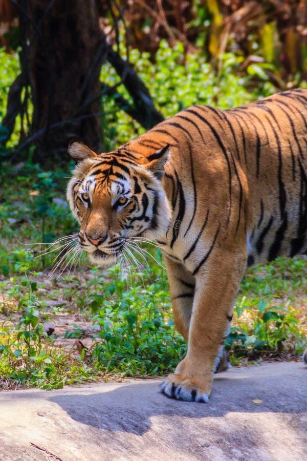 印度支那的老虎或者Corbett的老虎或者豹属底格里斯河corbet 免版税图库摄影