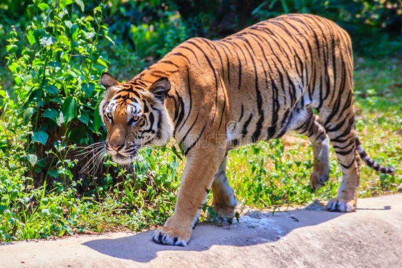 印度支那的老虎或者Corbett的老虎或者豹属底格里斯河corbet 库存照片