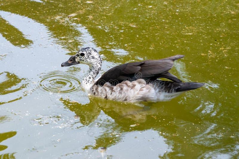 印度斑点开帐单的鸭子游泳在湖 免版税库存照片