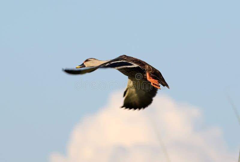 印度斑点开帐单的鸭子 免版税库存照片
