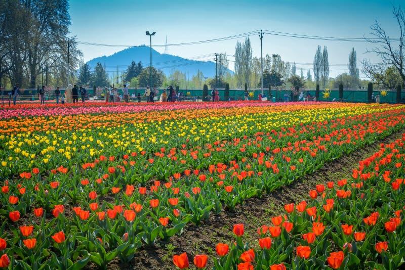 印度斯利那加郁金香花园 免版税库存图片