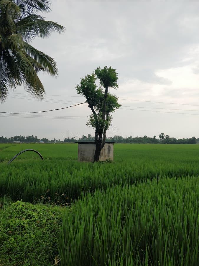 印度楝树在领域中部  库存照片