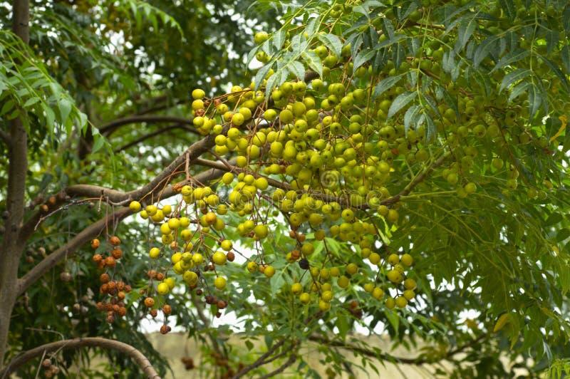 印度楝树自然医学和果树栽培在浦那,马哈拉施特拉附近 免版税库存图片