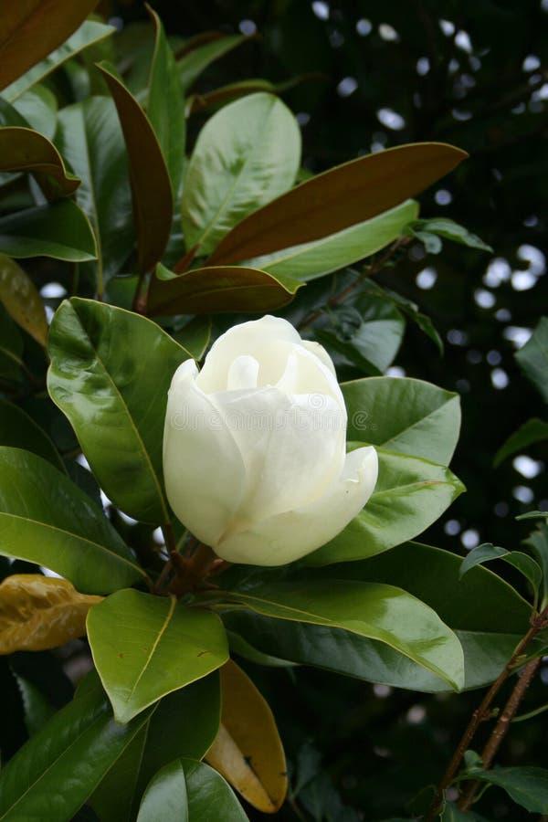 印度榕树开花的极大的木兰 库存图片