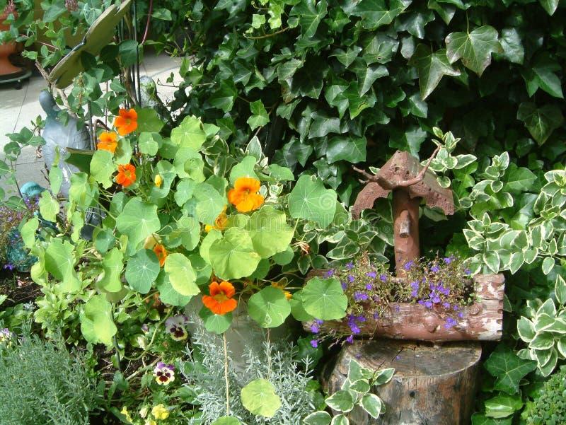 印度水芹在庭院里 免版税库存图片