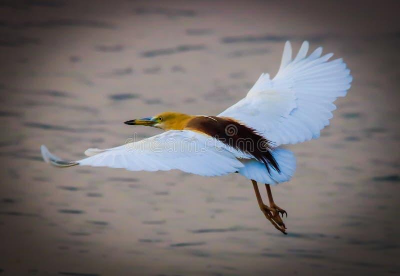 印度池塘苍鹭 免版税图库摄影