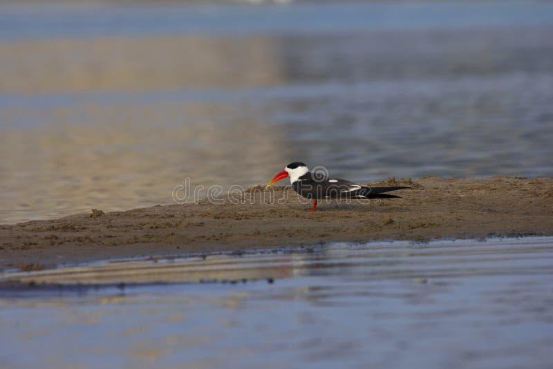 印度漏杓,Rynchops albicollis,Chambal河,全国Chambal圣所,印度 免版税库存图片