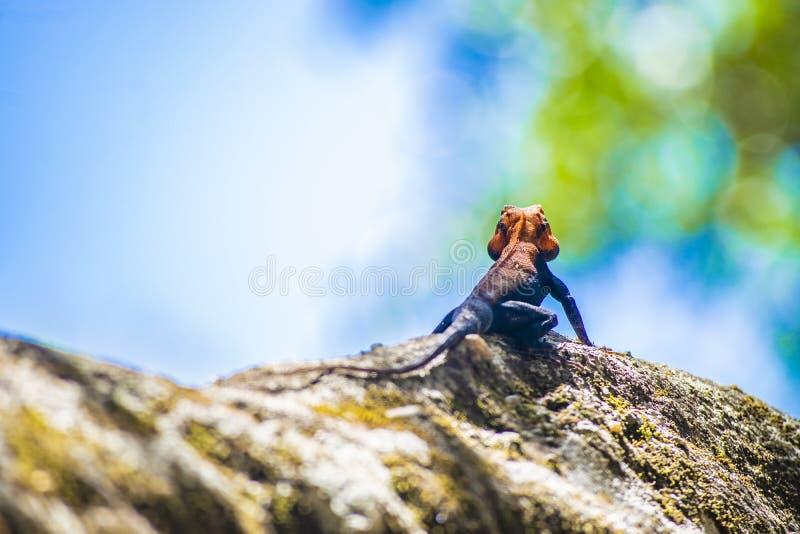 印度潘奇马里国家森林中一只彩色阿加玛蜥 免版税库存图片