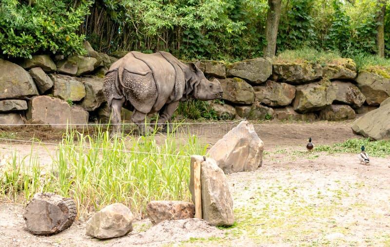 印度犀牛从后面射击的犀牛unicornis 库存图片