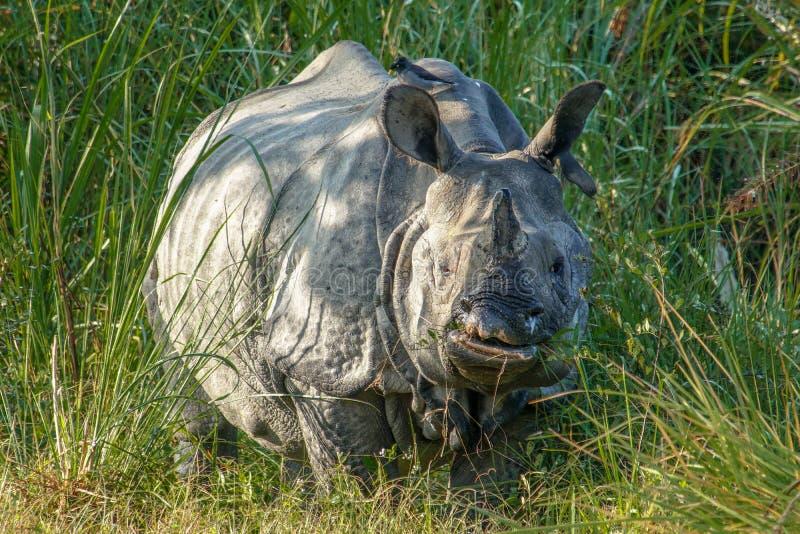 印度犀牛犀牛Unicornis,也叫吃草在草的更加伟大的一有角的犀牛 库存图片