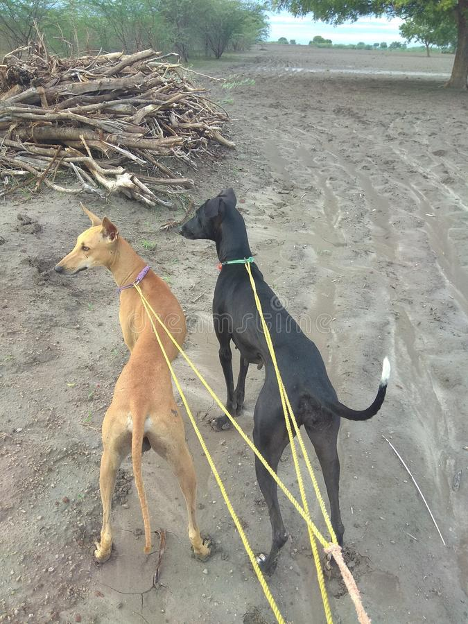 印度猎犬kanni和chippiparai身分以自豪感在猎场 图库摄影