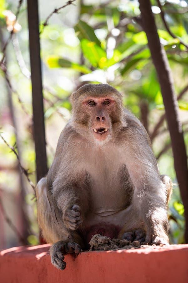 印度猴子坐篱芭在瑞诗凯诗 免版税库存图片