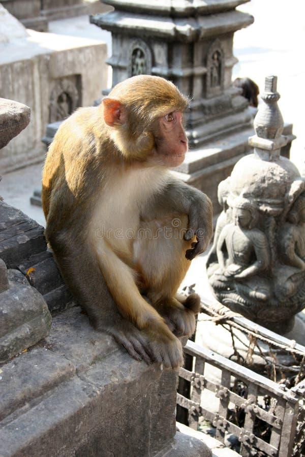 印度猴子尼泊尔罗猴 免版税库存图片