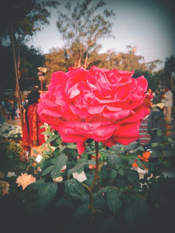 印度玫瑰展 免版税库存图片