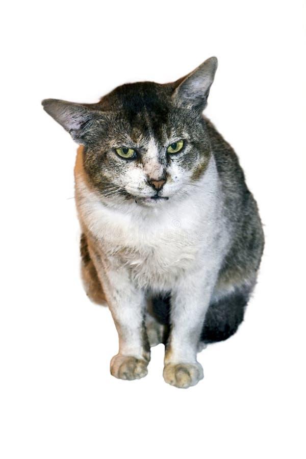 印度的一只恼怒的公猫的图象,隔绝在白色背景 免版税库存图片
