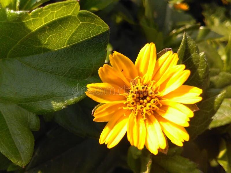 印度的美丽的花 库存照片