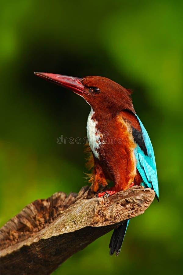 从印度的美丽的鸟 白红喉刺莺的翠鸟、太平smyrnensis、异乎寻常的肌力和蓝色鸟坐分支, Sri La 免版税库存图片