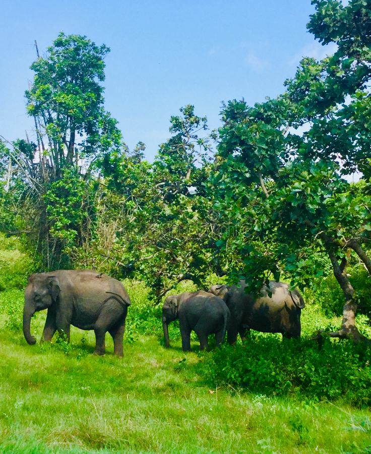 印度的迷惑的大象 库存图片