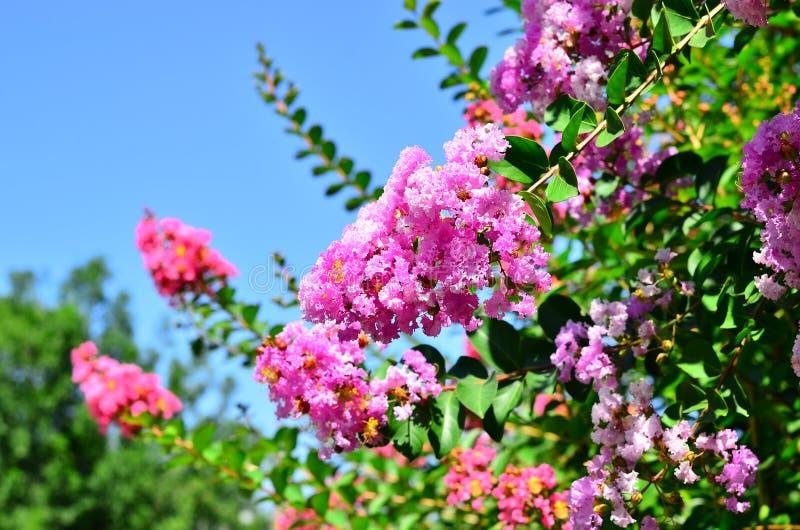 印度的紫薇 免版税库存照片