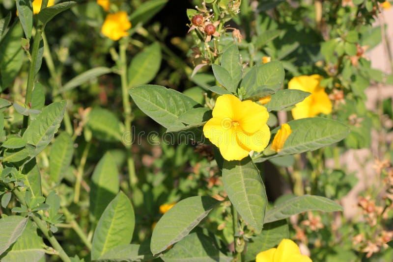 黄色小�{�p_reinwardtia印度,黄色胡麻, pyoli,耕种的喜马拉雅当地人,与笔直分支