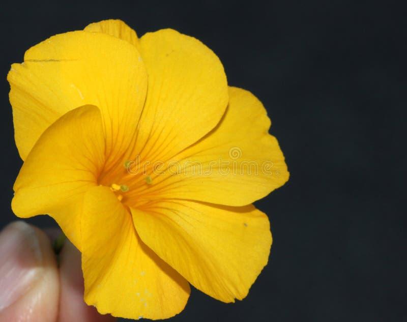 黄色小�{�p_印度的reinwardtia,黄色胡麻, pyoli. 灌木, 当地.