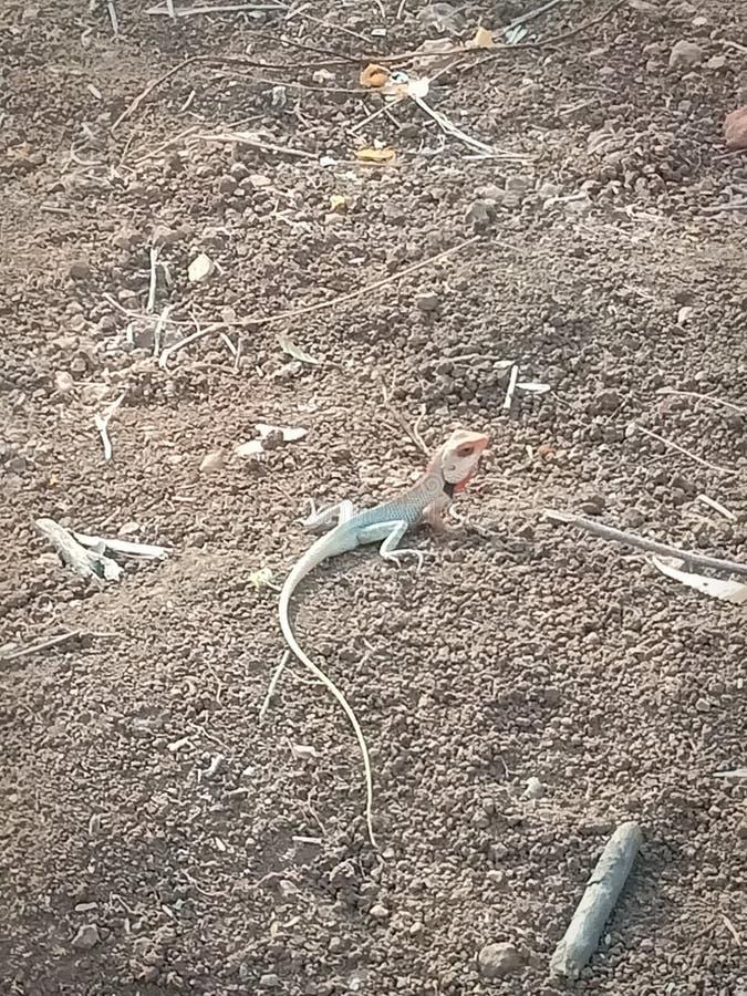 印度蜥蜴在森林里 免版税图库摄影