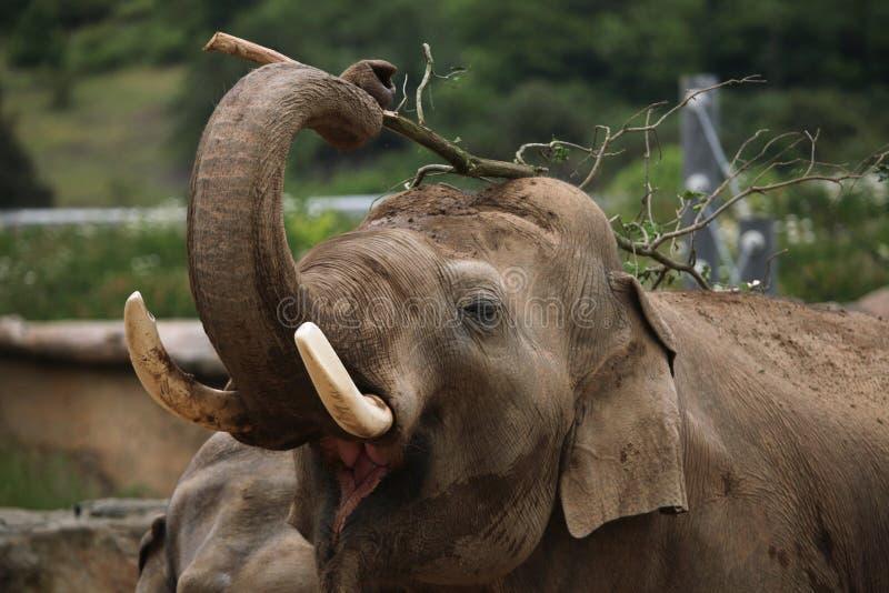 印度象(亚洲象属maximus indicus) 库存照片