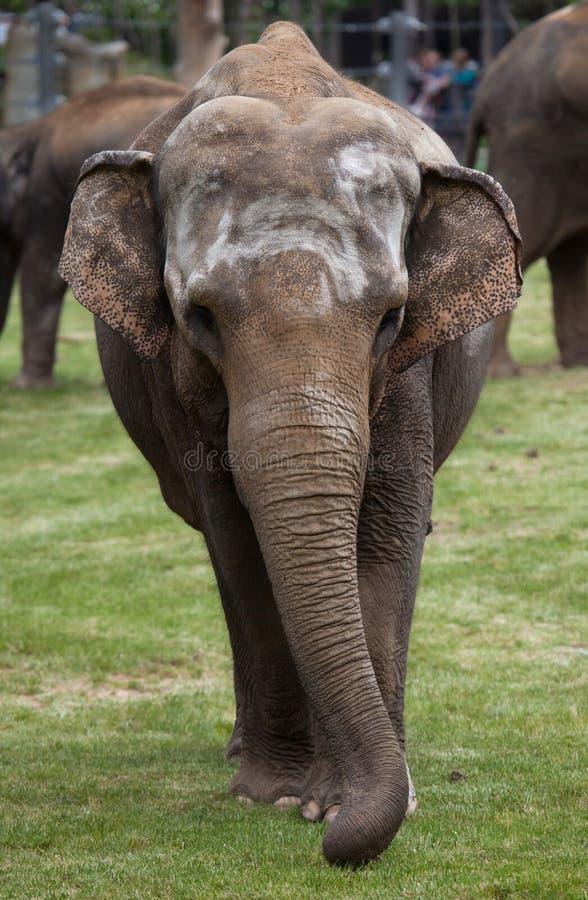 印度象(亚洲象属maximus indicus) 免版税库存图片