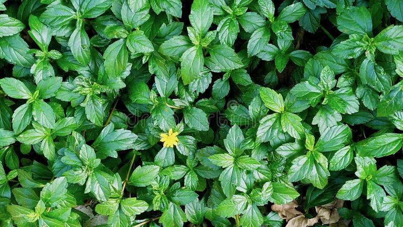 印度贾姆谢德布尔的绿叶植物 免版税库存照片