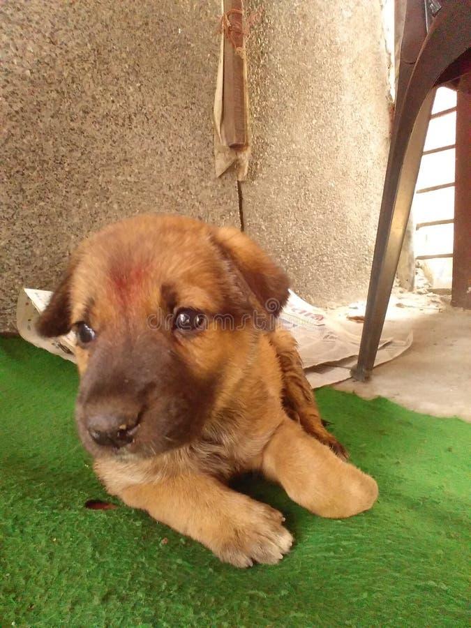 印度逗人喜爱的小狗 免版税库存图片