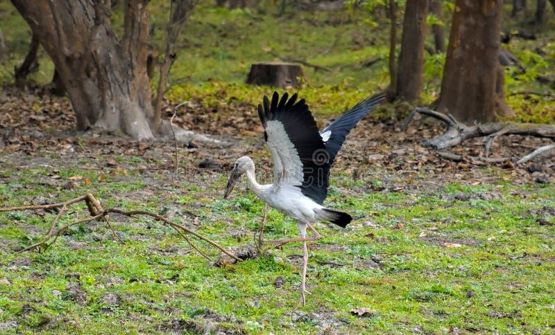印度阿萨姆邦卡齐兰加国家公园亚洲公开赛 免版税图库摄影