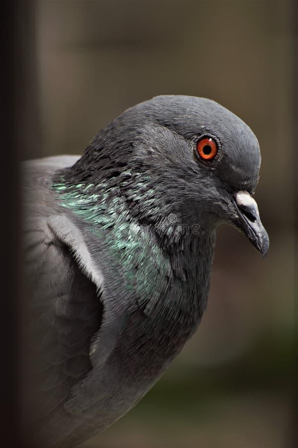 印度鸽子鸟特写镜头神色 免版税库存照片