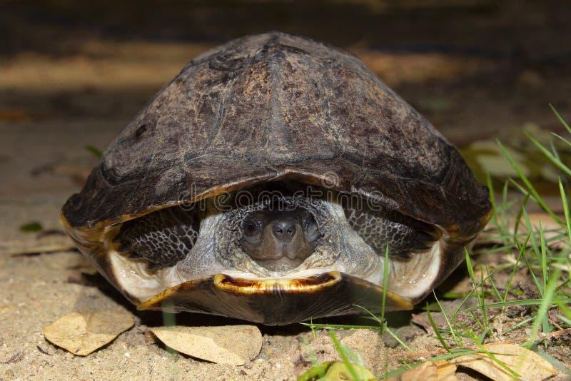 印度黑乌龟,Melanochelys trijuga,亨比,卡纳塔克邦,印度 在南亚找到的中型淡水乌龟 库存照片