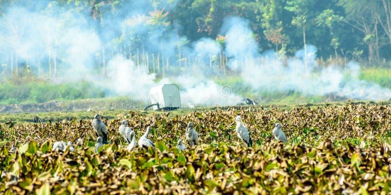 印度黑朱鹭水禽,在池塘察觉了充满凤眼兰,努力从在它哺养的污染生存 免版税库存图片