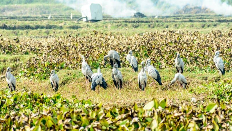 印度黑朱鹭水禽,在池塘察觉了充满凤眼兰,努力从在它哺养的污染生存 免版税图库摄影