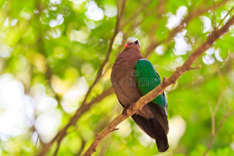 印度绿宝石的鸠或的Chalcophaps 库存图片