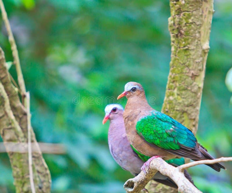 印度绿宝石的鸠或的Chalcophaps 免版税库存照片
