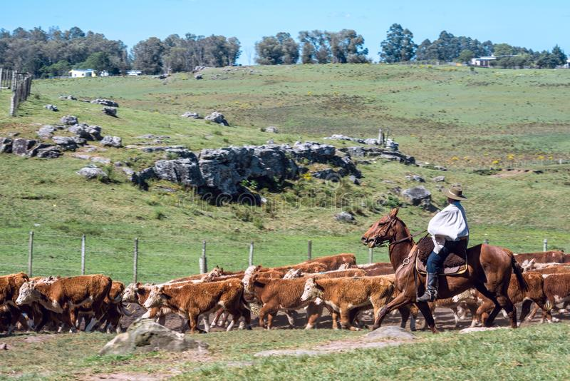 印第安人混血儿南美牛仔收集牧群并且驾驶它 免版税库存照片
