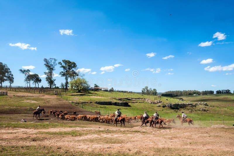 印第安人混血儿南美牛仔收集牧群并且驾驶它i 免版税库存照片