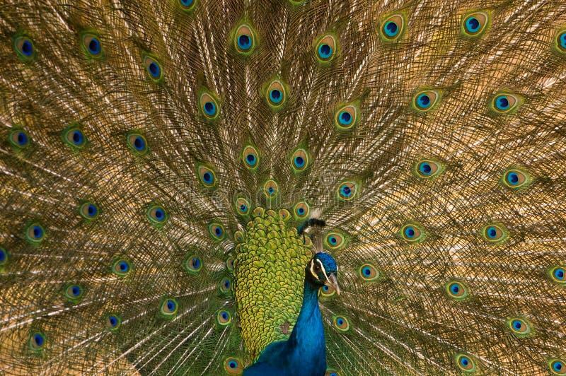印第安孔雀 库存图片