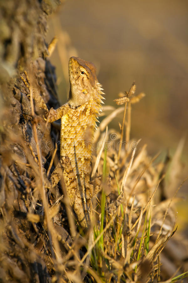 印第安庭院蜥蜴 免版税图库摄影