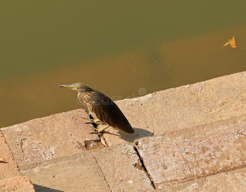 印第安池塘苍鹭 免版税库存照片
