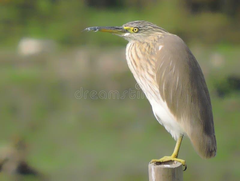 印第安池塘苍鹭 免版税库存图片