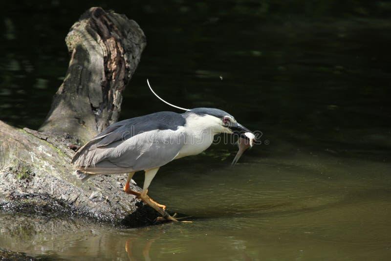 印第安池塘苍鹭(Ardeola grayii) 免版税库存图片